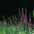 In general, foxglove will perform poorly in intense sun.