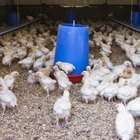 Auburn University poultry science students can tailor their studies to their interests.
