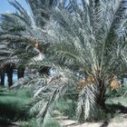 Date palm trees look like feather dusters.