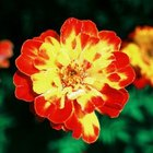 Marigold flowers can be single-colored or bicolored.
