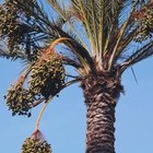 The female date palm produces bunches of edible fruit.