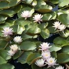 A dense patch of water lilies.