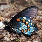 Pipevine swallowtail butterflies lay eggs exclusively on California Dutchman's Pipe.