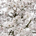 Cherry trees have showy blossoms, which inspire festivals in Japanese gardens.