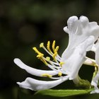Butterflies and hummingbirds can't resist honeysuckle's trumpetlike blooms and sweet scent.