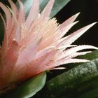 The flowers of hylocereus cactus are fleeting but lovely.