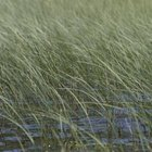 Tall marshland grasses resemble marsh bulrush.