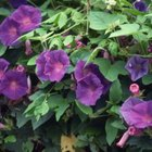 Morning glories grow fast and cover space beautifully.
