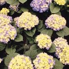 Purple or multi-colored hydrangeas require more neutral,but slightly acid soils between 5.5 and 6.5.