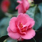 The camellia Rubra cultivar produces dark, rosy pink flowers.