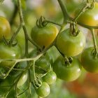 Plant tomatoes in an area that gets full sun.