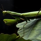 Mantids will devour any garden pest.