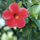 Chinese hibiscus are tropical evergreens that grow in zones 9 through 11.
