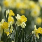 Daffodils can be grown in large groupings and make excellent cut flowers.