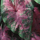 Caladium leaves come in a variety of striking colors.