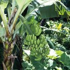 The surface of large leaves of Musa banana plants evaporate large amounts of water.