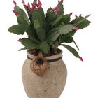 Choose a Christmas cactus for an attractive easy-care plant.
