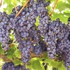Grapes prefer full sunlight and level or south-facing slopes.