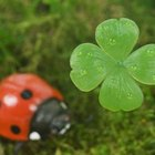 Clover patches attract lady beetles that feed on harmful beetles.