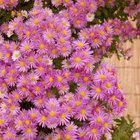 Fall-blooming asters pair well with all kinds of roses.