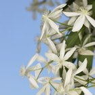 Clematis is one of the most popular vining plants available.