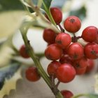 Holly berries are attractive but poisonous.
