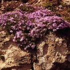 Some phlox varieties work well in a rock garden.