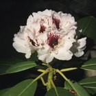 Rhododendrons have rich green leaves and can have pink flowers.