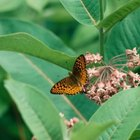Milkweed plants attract butterflies.