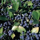 Blueberry bushes often have a dense growth pattern, which is great for hedges.