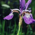 Irises mimic the lily's tall, graceful form.