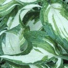 Most hostas grow to between 2 and 3 feet tall, although some grow to only 6 inches tall.