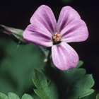 Single flower of a seeded geranium.
