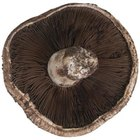The shiitake is grown commercially in many parts of the world.