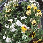 Gardeners have vast selections in pansy flower colors.
