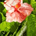 Tropical hibiscus are available in a wide variety of bloom colors.