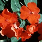 Impatiens need well-drained soil.