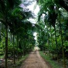 Coconut palms will require pruning when planted along a path.