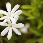 Delicate jasmine has a scent as beautiful as its blooms.