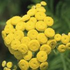 Tansy is a good companion for peaches, grapes, cabbage and roses.