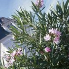 Oleander flowers can be pink, red, salmon, white or yellow, depending on the cultivar.