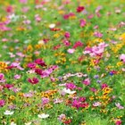 Remove coreopsis flowers as they fade to encourage continuous blooming.