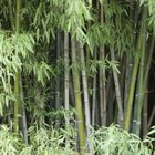 Bamboos hold a dignified place among tall landscaping grasses.