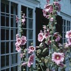 The hollyhock's height can help screen your balcony from view.