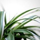 You'll see visible results almost immediately after feeding your spider plant.