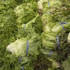 Misted vegetables are less dry but more likely to become moldy.