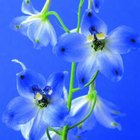 Flowers in the Delphinium genus have pedicels supporting flowers on a peduncle.
