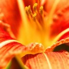 Daylilies are known for their short blooms and strong fragrance.