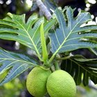 Breadfruit is an important food source in Polynesia.