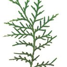 Cedar tree foliage is soft and vibrant green.